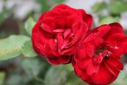 Залог успешного выращивания роз - Садоводка