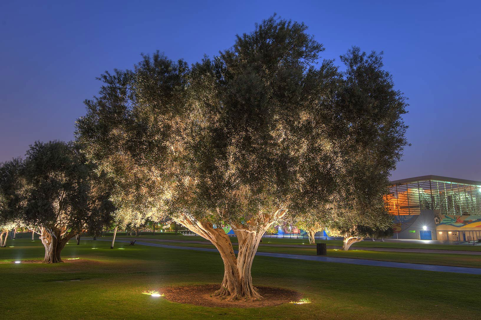 Oliva 'Olea europaea' Olive tree, Oliva, Golf courses