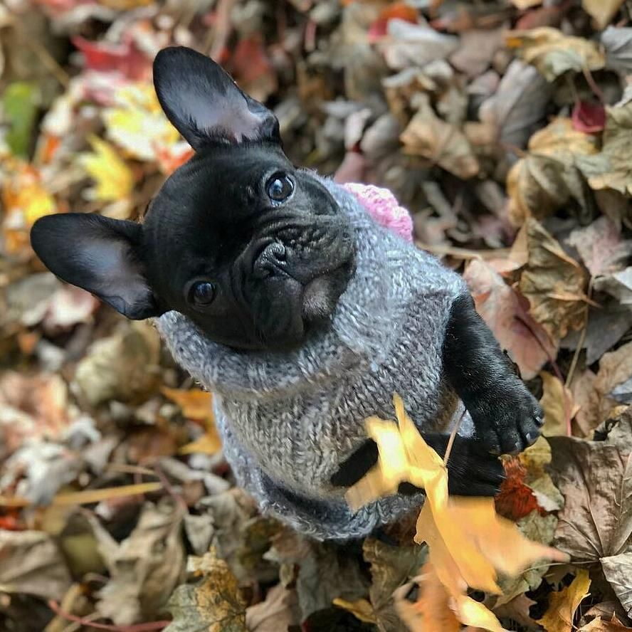 Winter is here ️❄️ We have great selection of French Bulldog sweaters