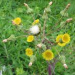 Осот огородный: описание растения, полезные свойства ...