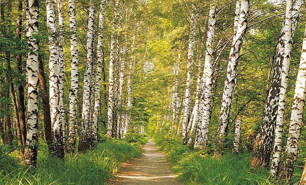 Fototapete Fototapete Fototapete Birkenwald Birken Wald
