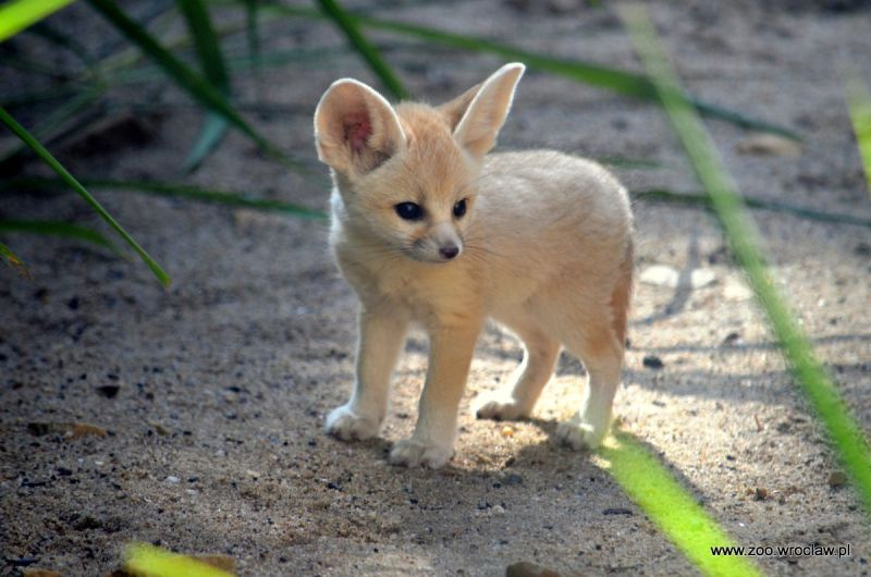 Red Fox Eat Small Dog
