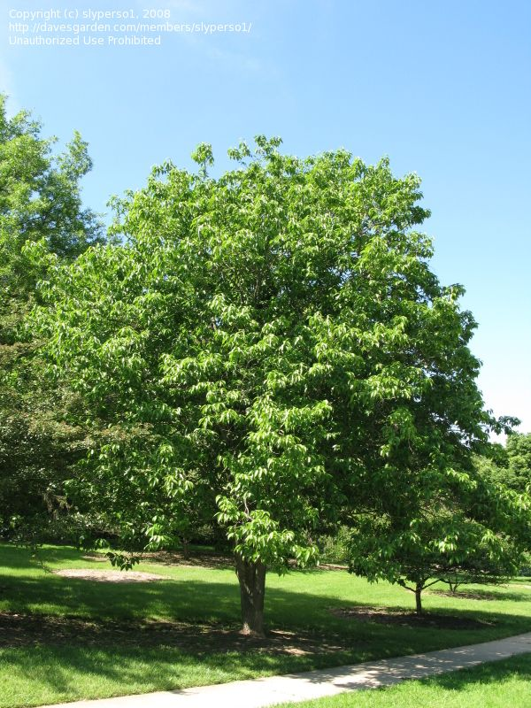 Plantfiles Pictures Hardy Rubber Tree Eucommia Ulmoides 4 By Growin Shade Garden Shrubs Plants
