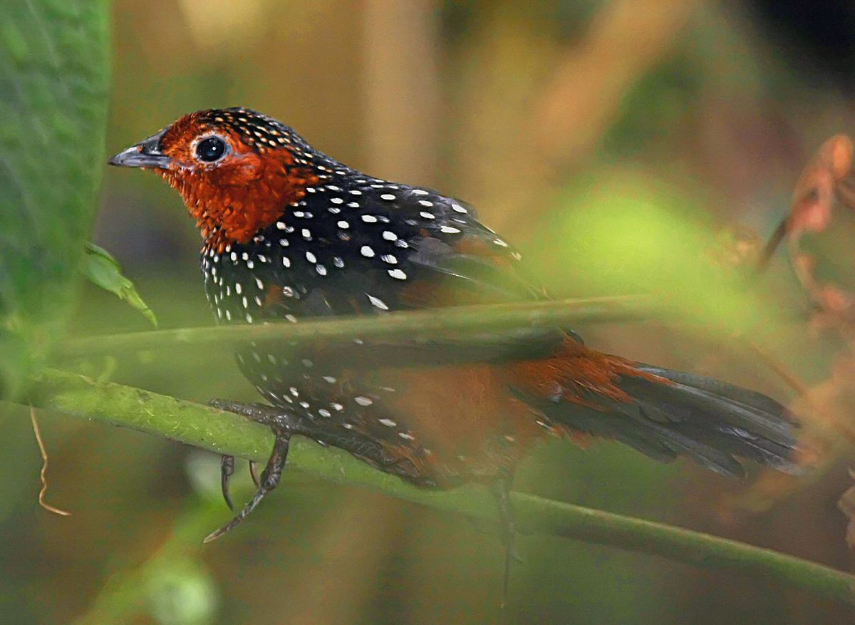 Tapaculo Wikipedia (With images) Birds, Beautiful