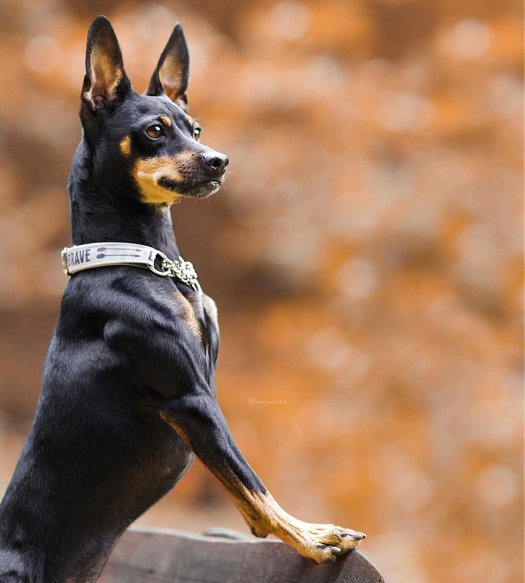 Min Pin By Verpinscht Miniature Pinscher Dog Lovers Labrador Retriever