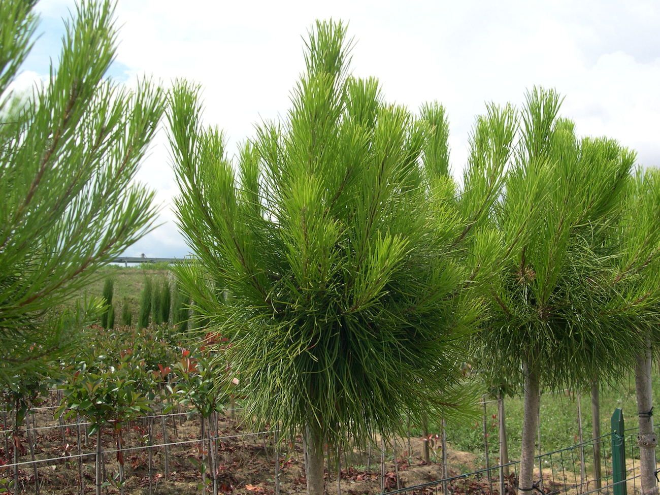 Vendita Piante Online Pino Pinus Pinea Piante Da Giardino