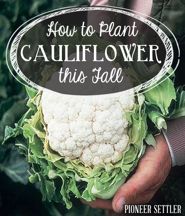 How To Plant Cauliflower This Fall Cauliflower Plant Growing