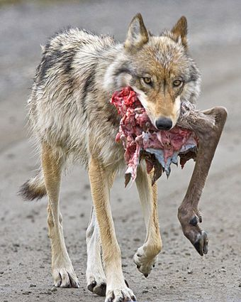 Gray Wolf Wikipedia The Free Encyclopedia Wolf Canis Lupis