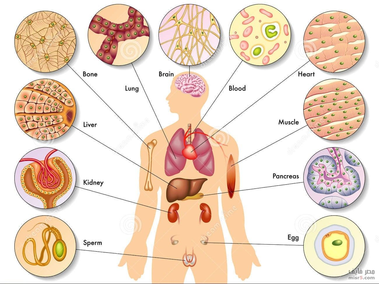 تجديد خلايا الجسم كل 6 شهور Body Cells Human Body Body