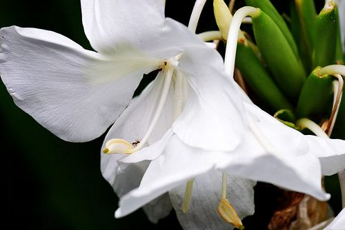 White Ginger Lily Hedychium Coronarium Is Used As A Middle Or Base Note And Is A Hardy Tropical Perennial That I Rare Flowers Natural Essential Oils Rhizome
