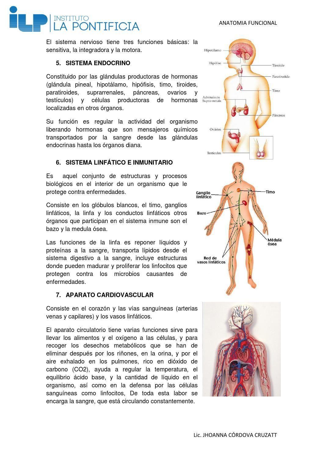 Contemporáneo Anatomía De La Médula ósea Elaboración - Anatomía de ...