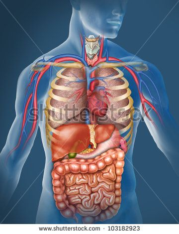 anatomy of female body with internal organs superimposed, Muscles