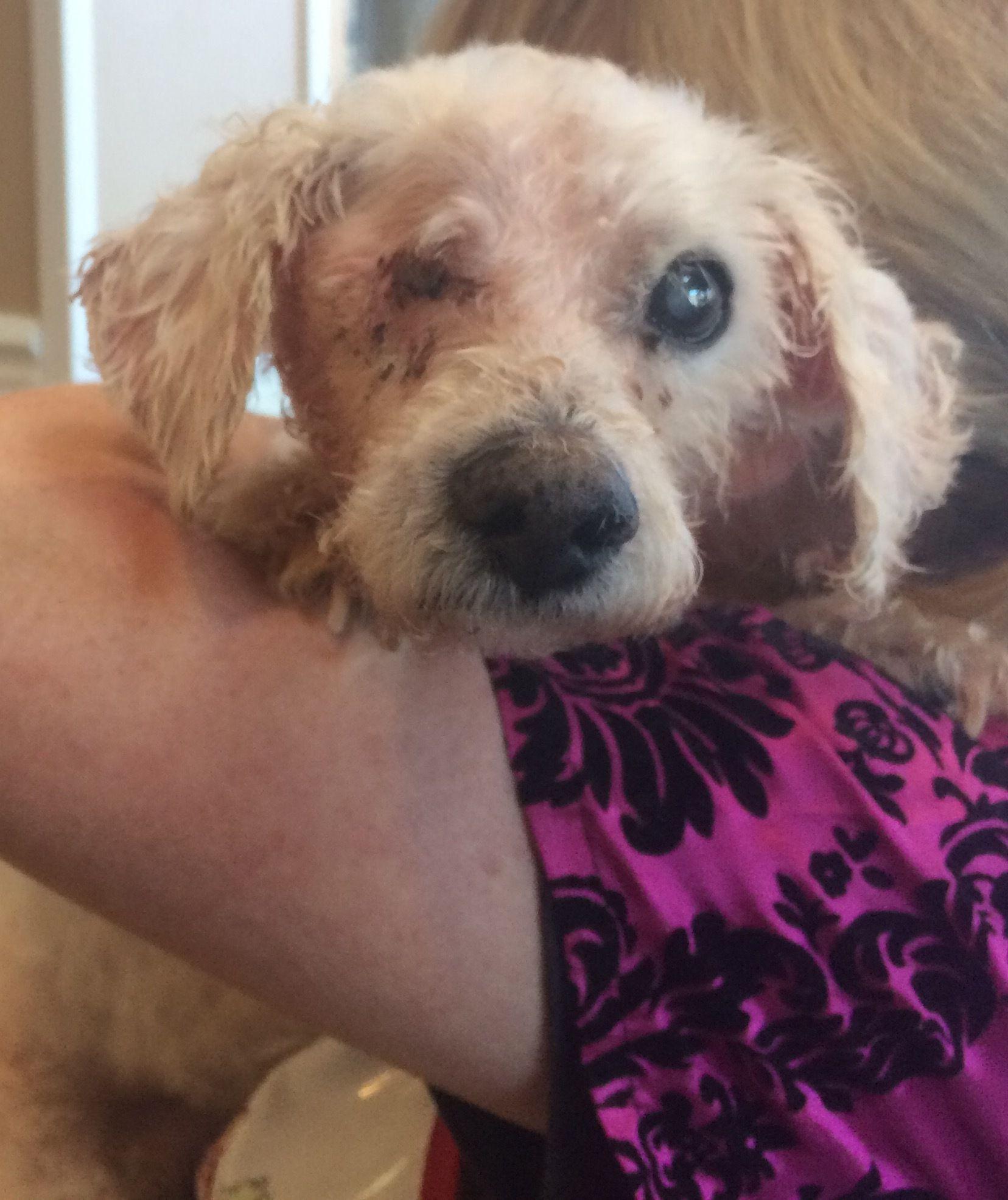 Adopt OneEyed Jack on Poodle mix dogs, Pet adoption, Pets
