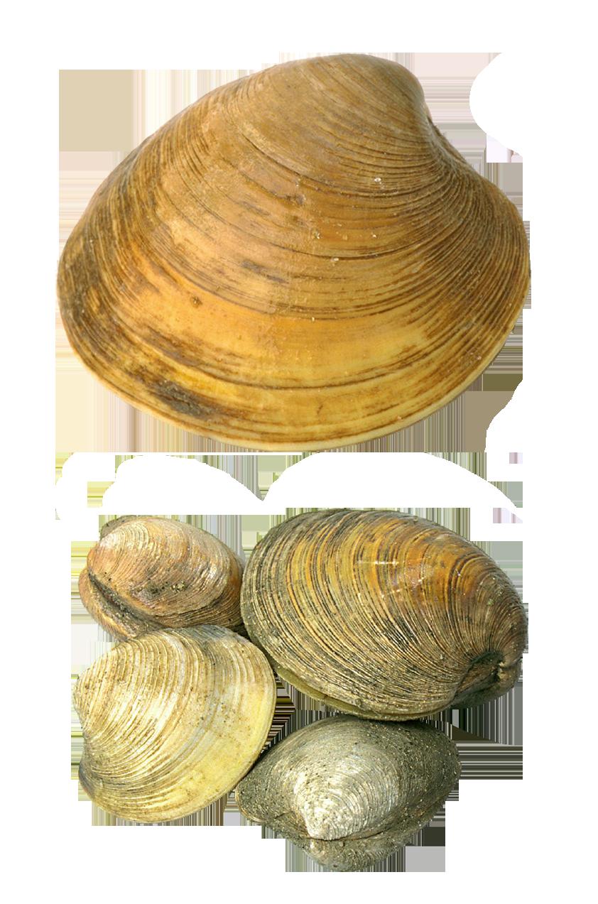 Transparent Seashells Png Picture Sea Shells Pictures Free Clip Art