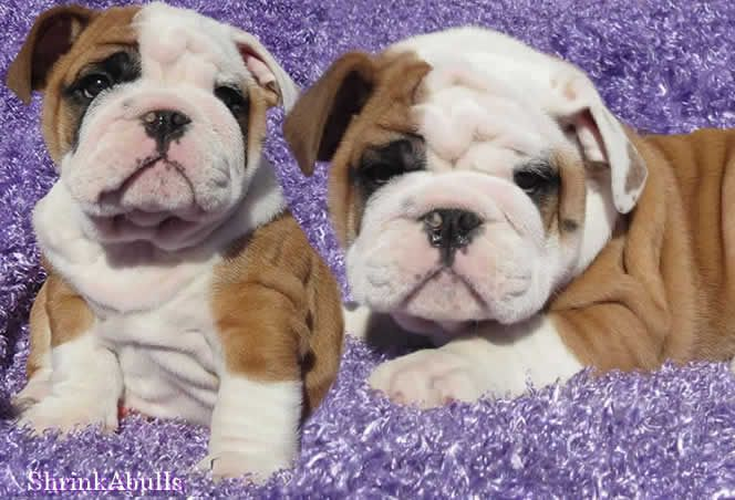 Miniature English Bulldog Breeders French Bulldog Puppies For