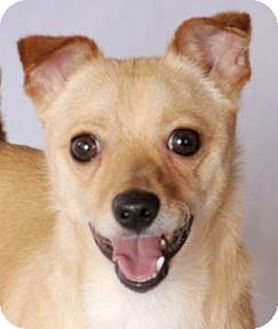 Chicago Il Chihuahua Mix Meet Charlie A Dog For Adoption