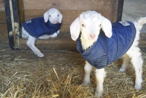 Blanca & Fresca looking SUPER sweet in their little coats this morning (4/3/12) at Juniper Moon Farm. JMF is so good about posting pictures so those of us who have desk jobs can get a taste of farm life through our laptops!