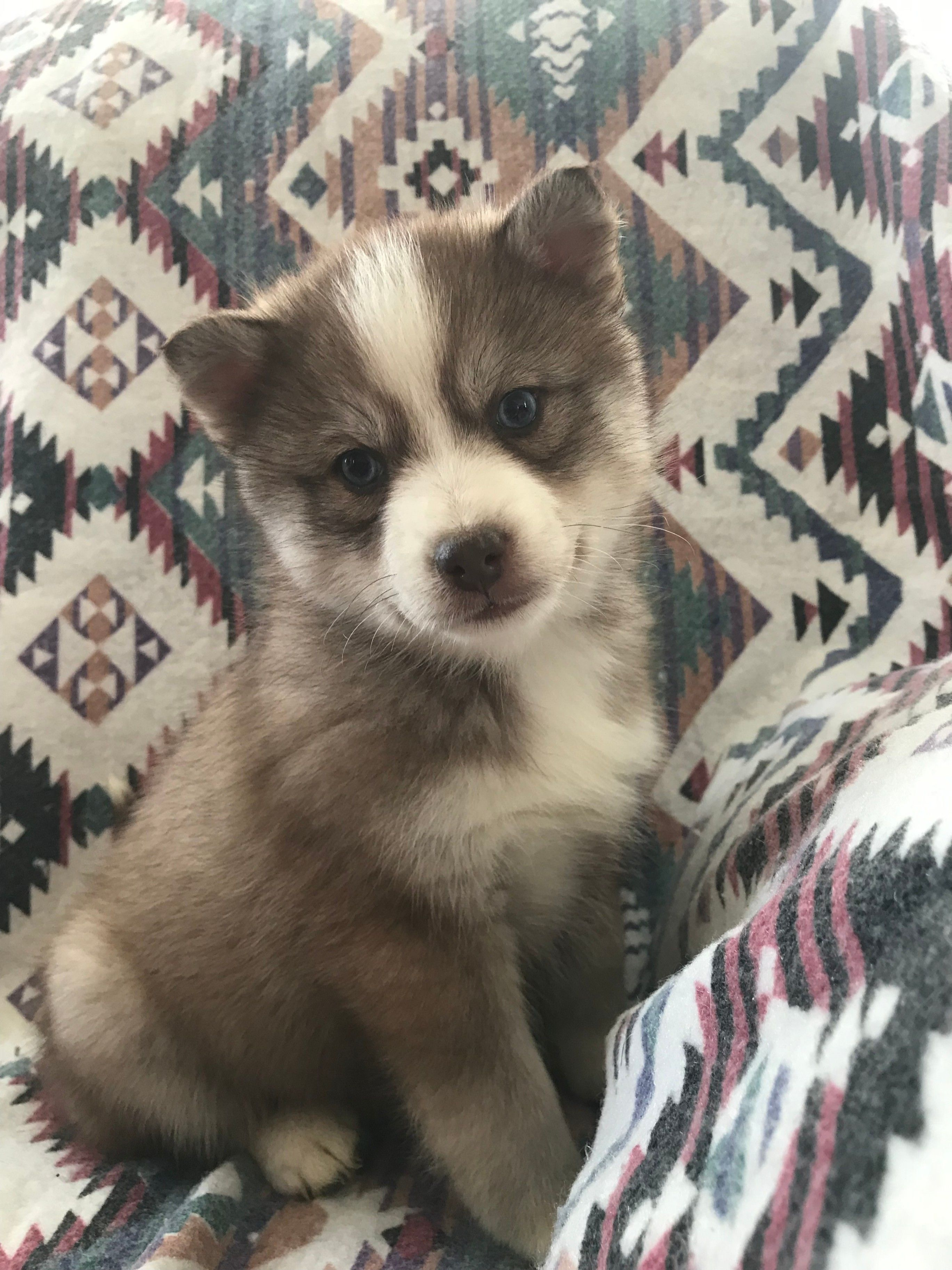 Sweet Pomsky Pomsky Puppies Cute Animals Cute Funny Dogs