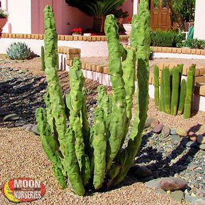Totem Pole Cactus