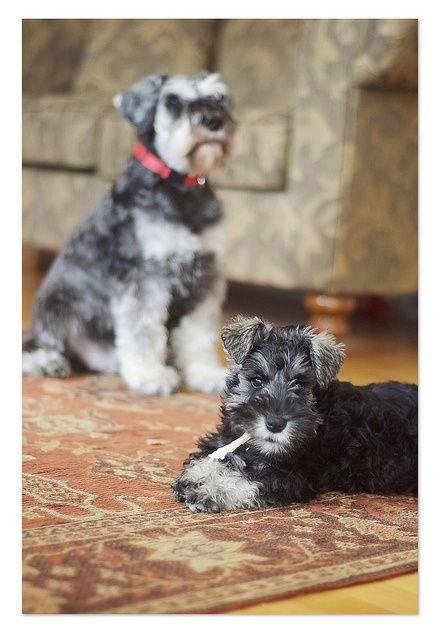 Mini Schnauzers At Home Schnauzer Puppy Mini Schnauzer Dogs