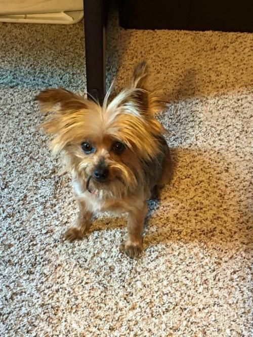 Ainsley is an adoptable Yorkshire Terrier Yorkie Dog in
