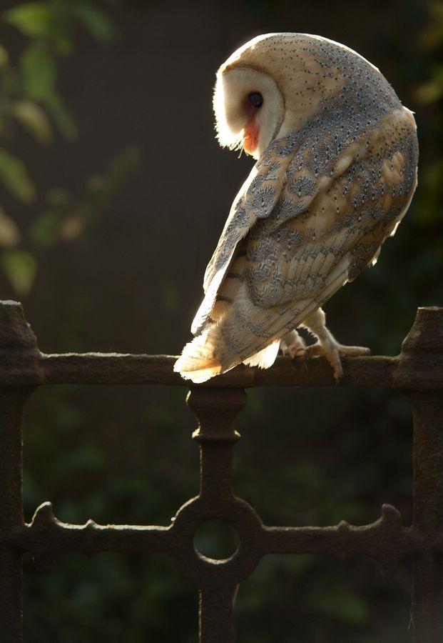 Churchyard Owl (Barn)