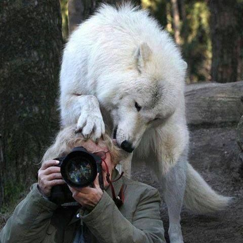 White Wolf The Most Unexpected Moments Wild Animals