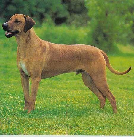 Rhodesian Ridgeback Rhodesian Ridgeback Dogs Animals