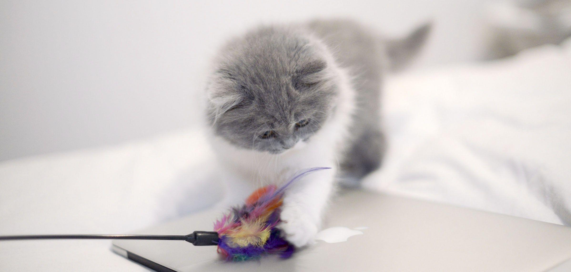 Choisir un élevage de chat british Caractère du chat