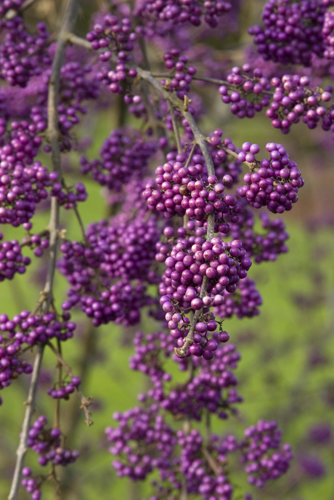 Many Colorful Shrubs And Trees Produce Berries In The Fall,