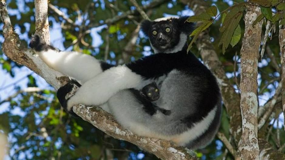 The indri is one of the most endangered species of lemur