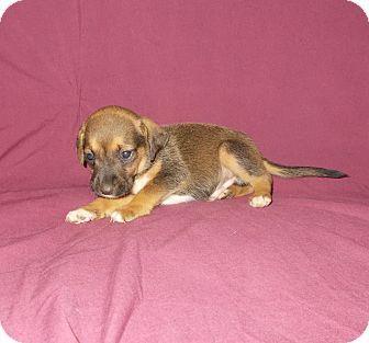 richmond, VA Labrador Retriever/Boxer Mix. Meet MITCH, a