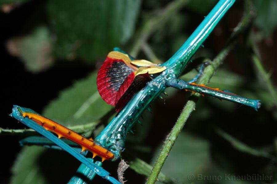Achrioptera Fallax Von Bruno Kneubuhler Bugs Jokes