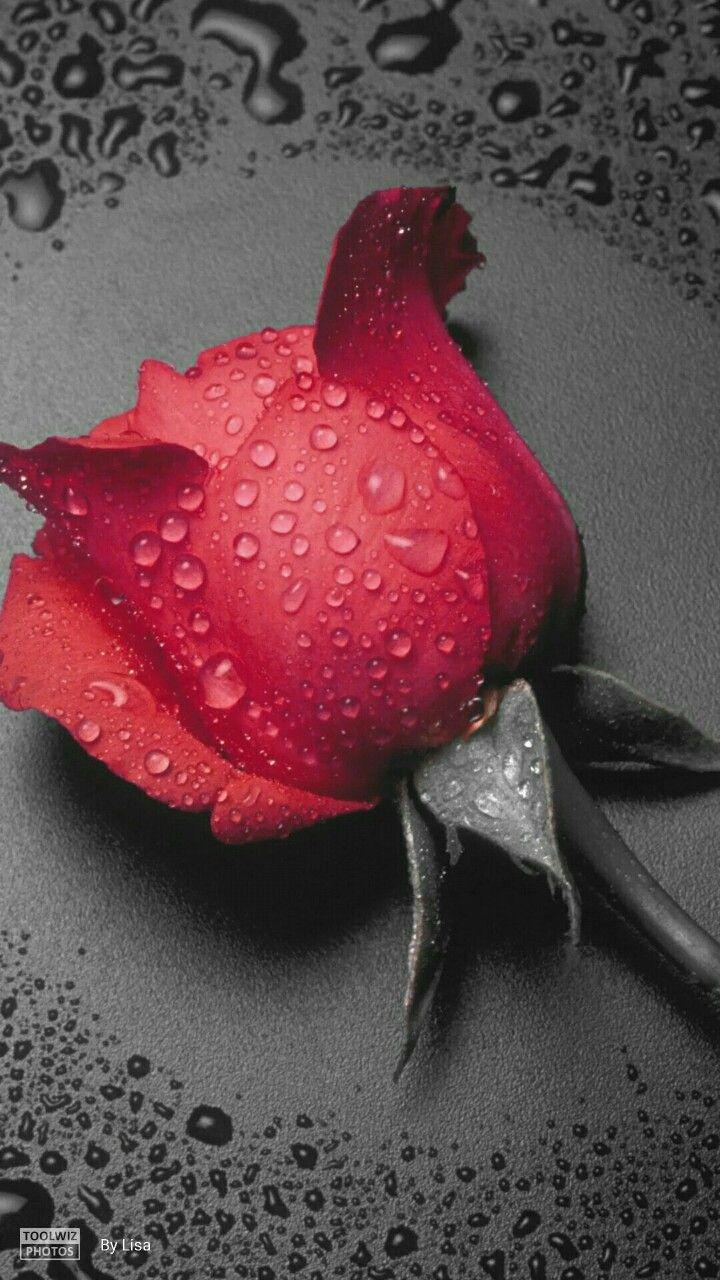 Pin On Pasion Por Las Rosas
