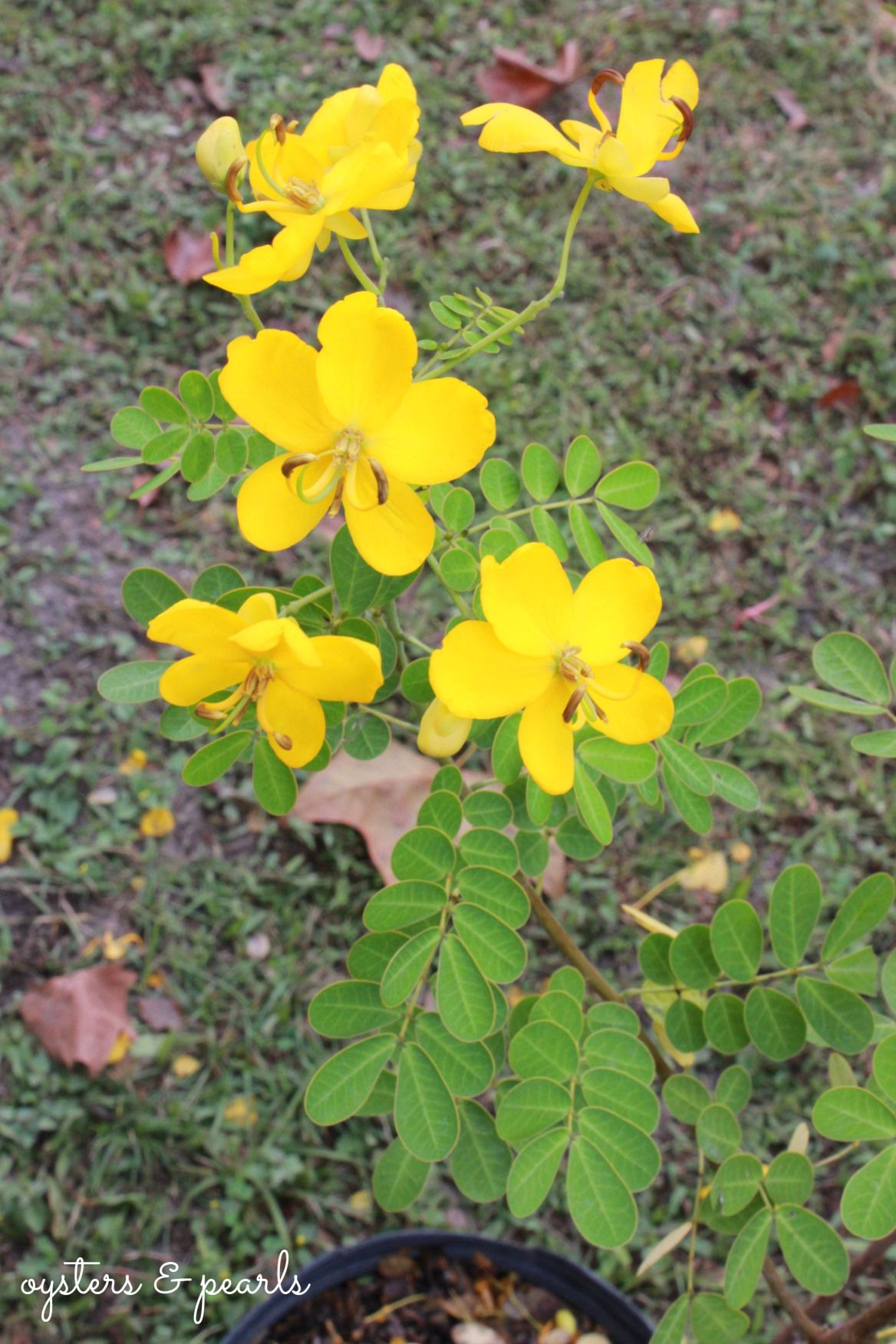 Yellow Cassia Tree At The Florida Seafood Festival In Apalachicola