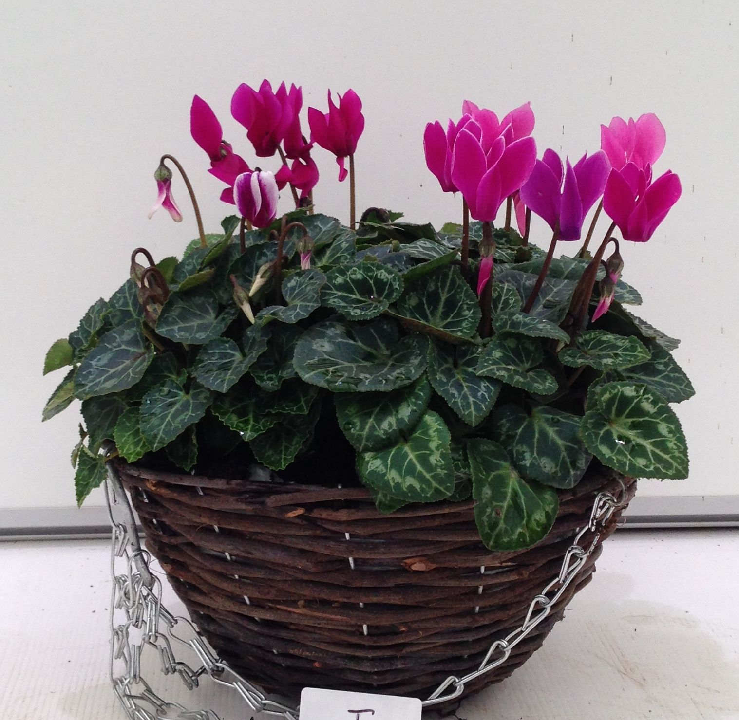 rattan 25cm cyclamen planted hanging basket autumn 2015 uk