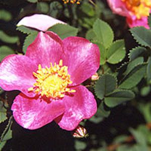 Mary Queen Of Scots Rose Green Hope Farm Flower Essences Flower Essences Mary Queen Of Scots Rose