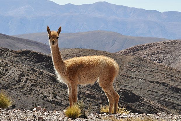 The Vicuna Vicugna Vicugna Or Vicugna Is One Of 2 Wild South American Camelids Which Reside In The High Towering Areas Of The A Llama National Animal Animals