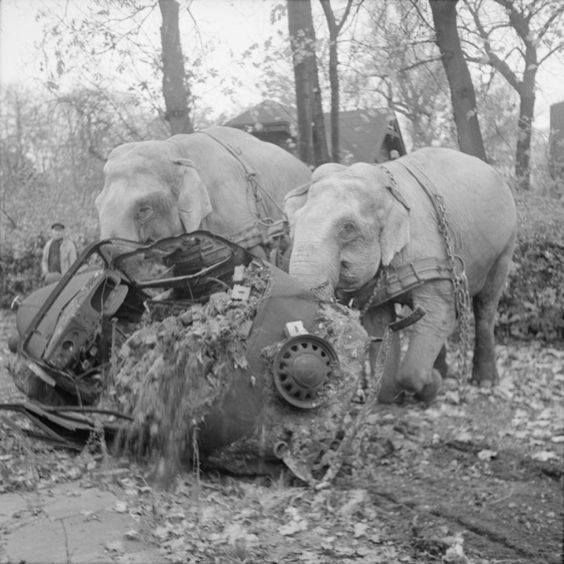 Circus elephants Kiri and Many move a wrecked car in Hamburg in the aftermath of the Second World War 5 November 1945.