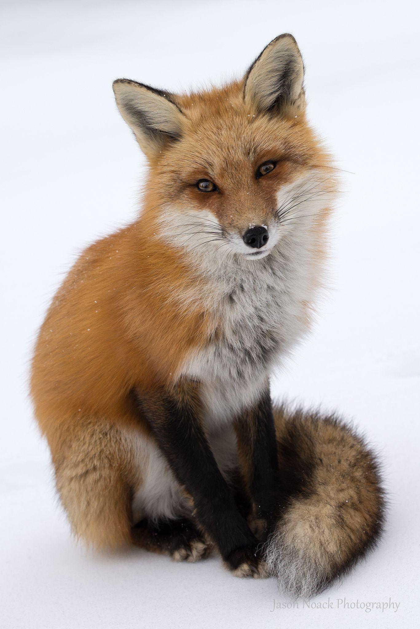 Red Fox by Jason Noack on 500px Fox pups, Pet fox, Fox