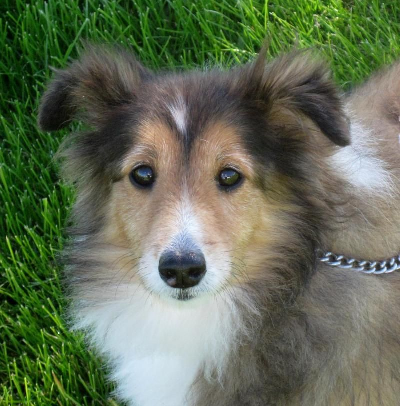 Adopt Penny On Petfinder Shetland Sheepdog Dog Breeds Dogs