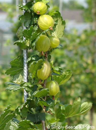 Gooseberry Invicta Now The Most Widely Grown Gooseberry Giving Bumper Crops Of Large Oval Green Fruits Whic How To Grow Gooseberries Bumper Crops Green Fruit