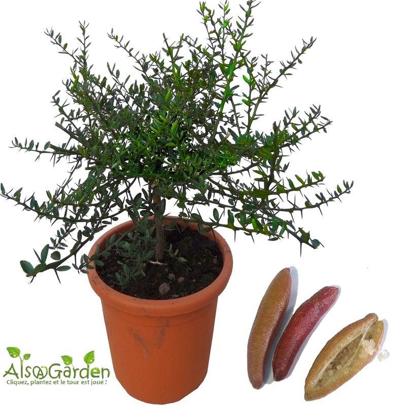 Acheter plant de citron caviar agrume rare plantes rares for Acheter des plantes