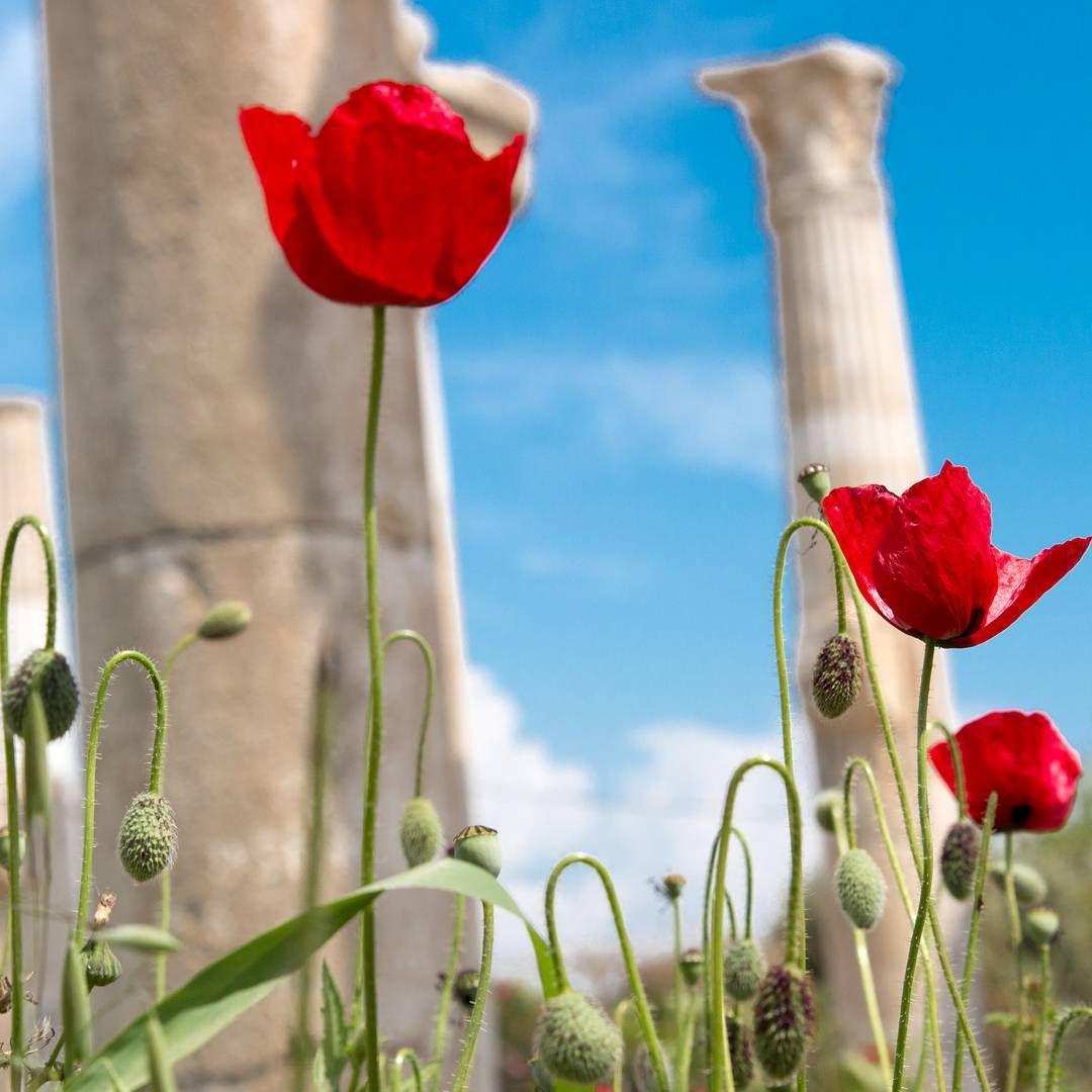 Pin by go to turkey on flora of turkey pinterest poppy flowers flowers mightylinksfo