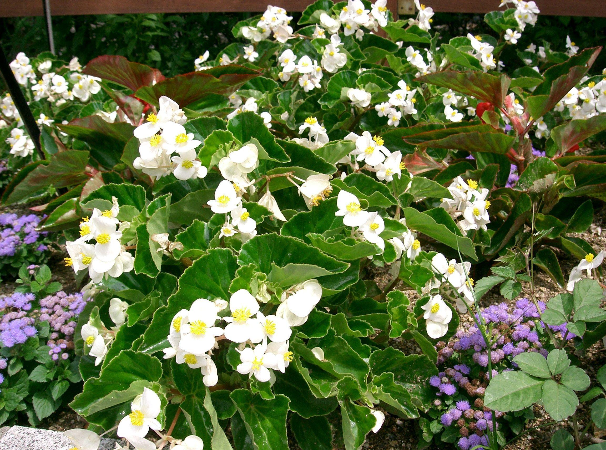 begonia dragon wing white