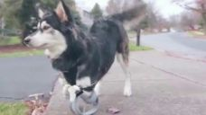 Puppy gets 3D-printed legs   Fox News Video