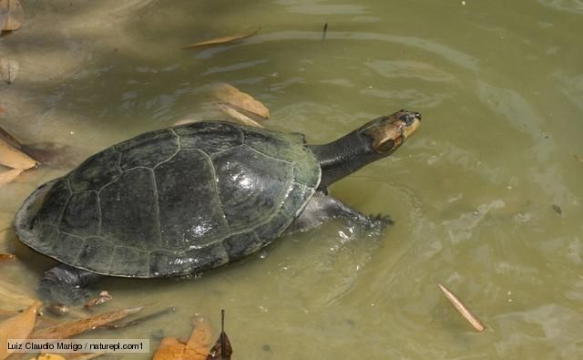 Amazon Giant River Turtle Giant Arrau Turtle In Shallow Water