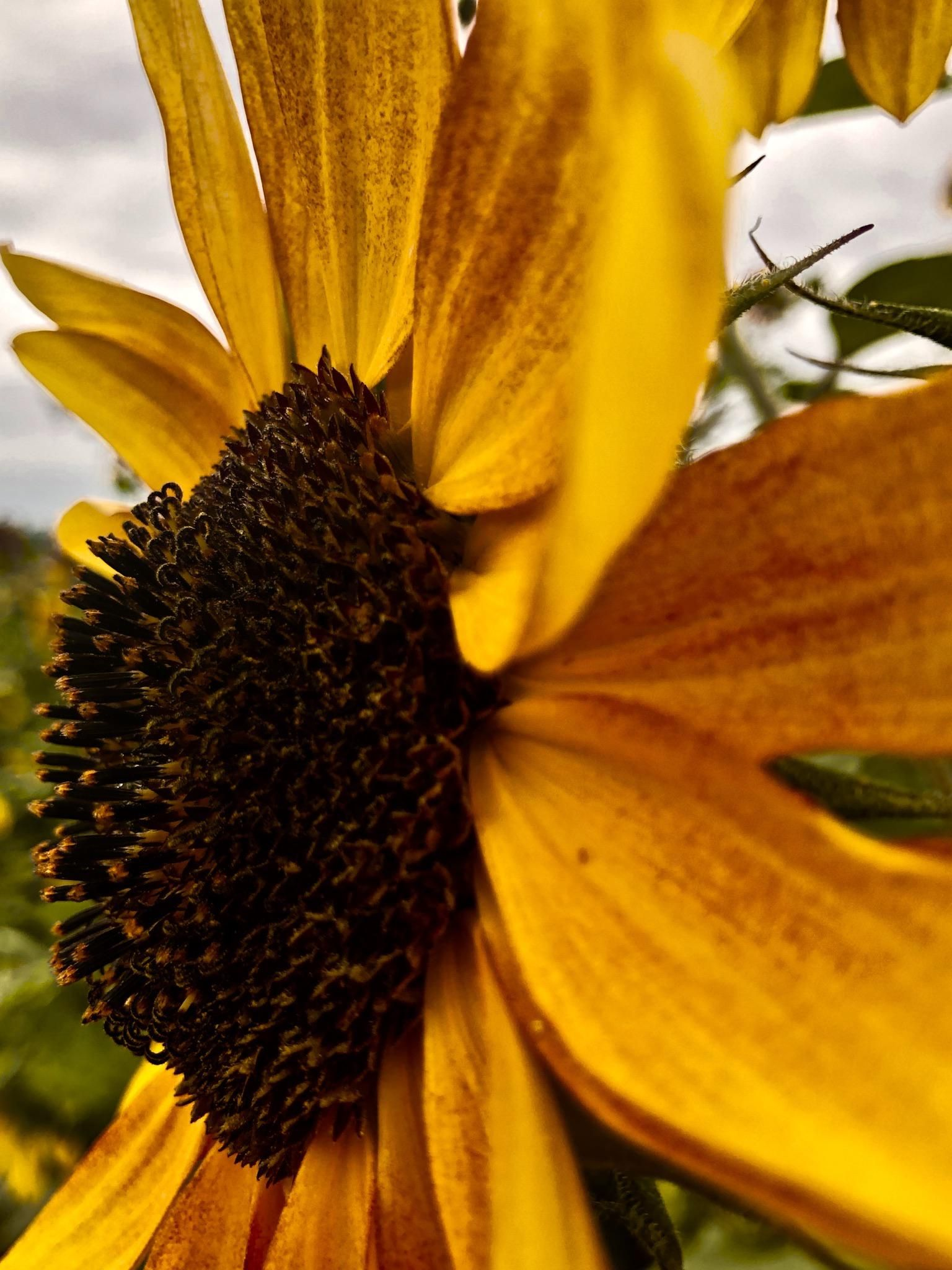 Itap Of A Sunflower Photo Background Editor Wallpaper Photohd