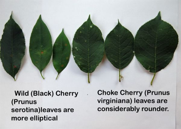 Plant Profile Wild Cherry Bark Chokecherry Tree Cherry Bark Chokecherry