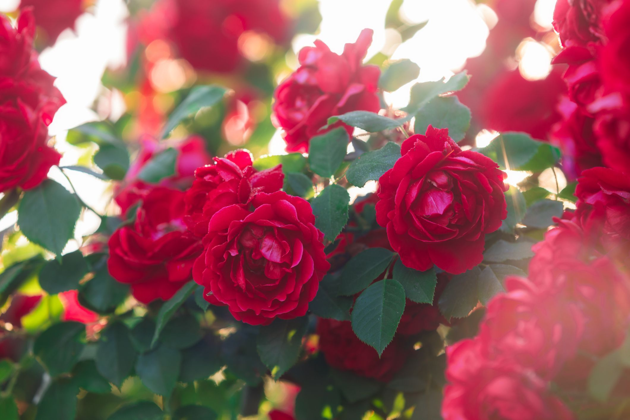 What S Wrong With My Roses The Top 10 Usual Suspects Planting Roses Black Spot On Roses Rose Diseases